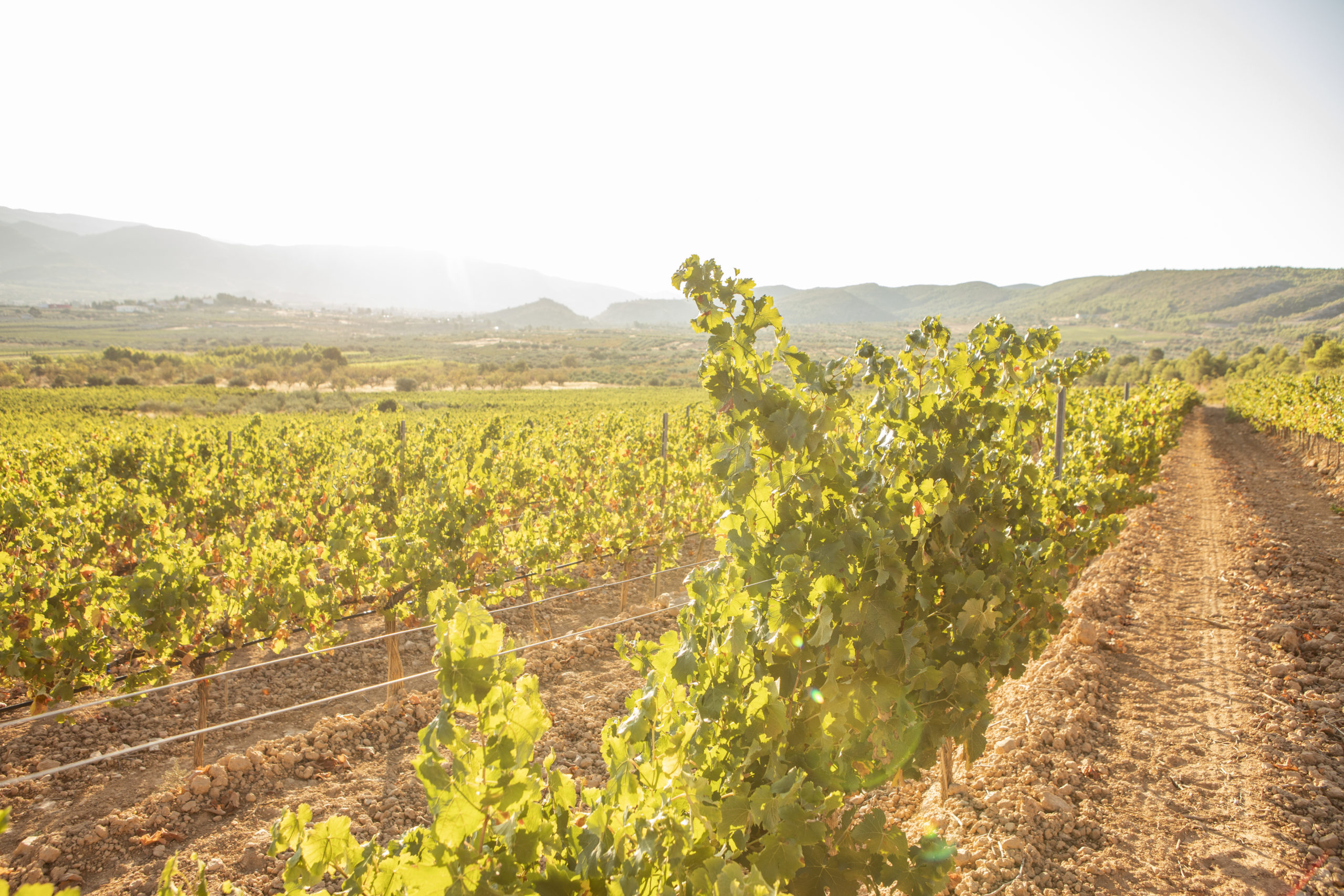 Viñedos de las Bodegas Vegamar en la Comunidad Valenciana
